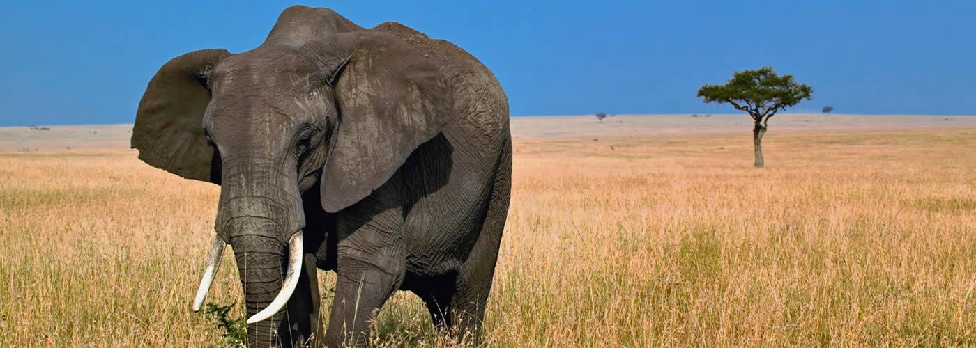 Elephant-grazing