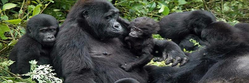 gorilla_Trek