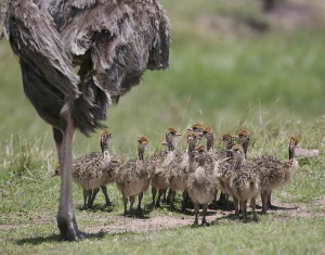 ostrich_family